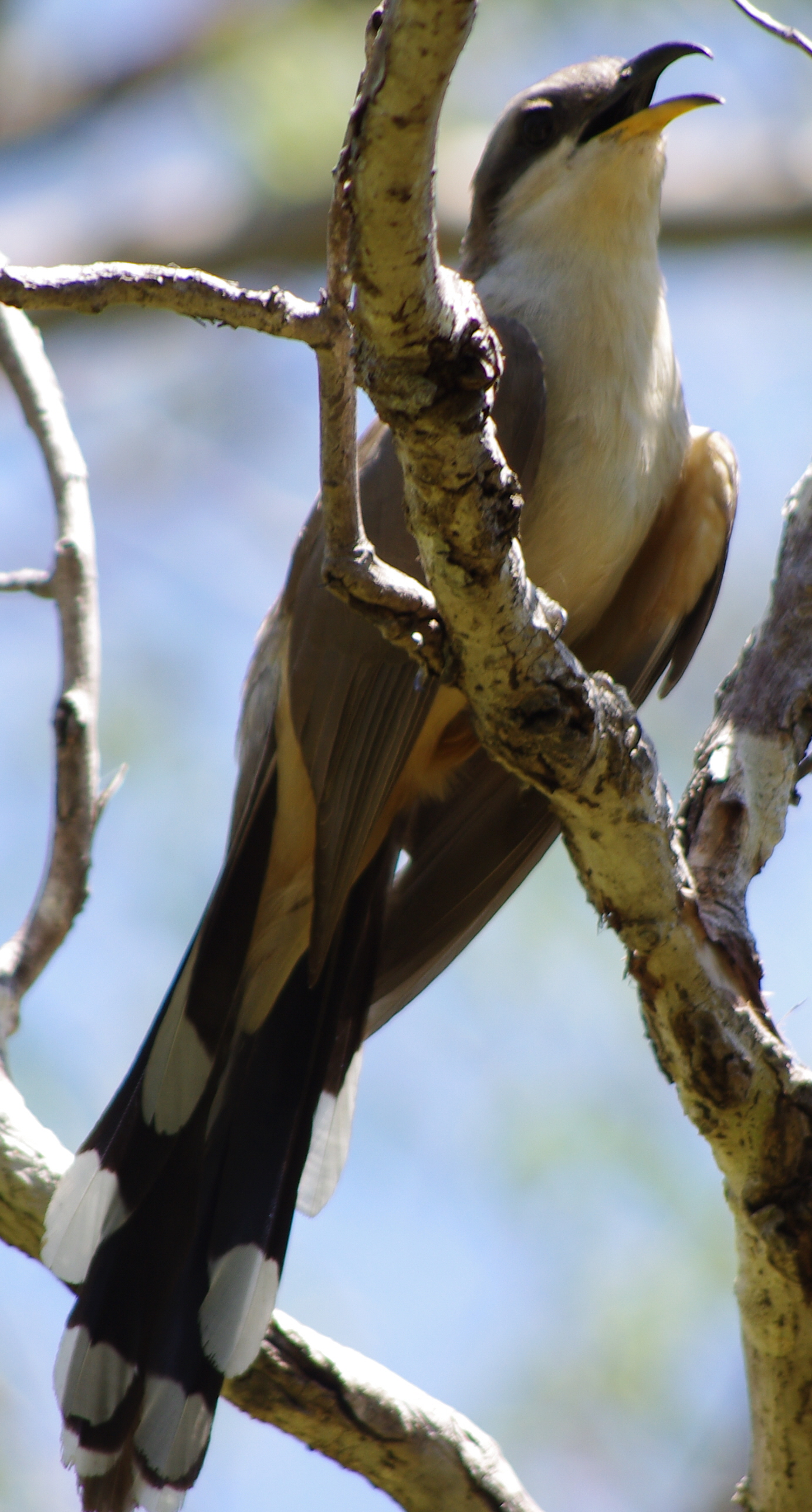 ABA Birds On A Shoestring