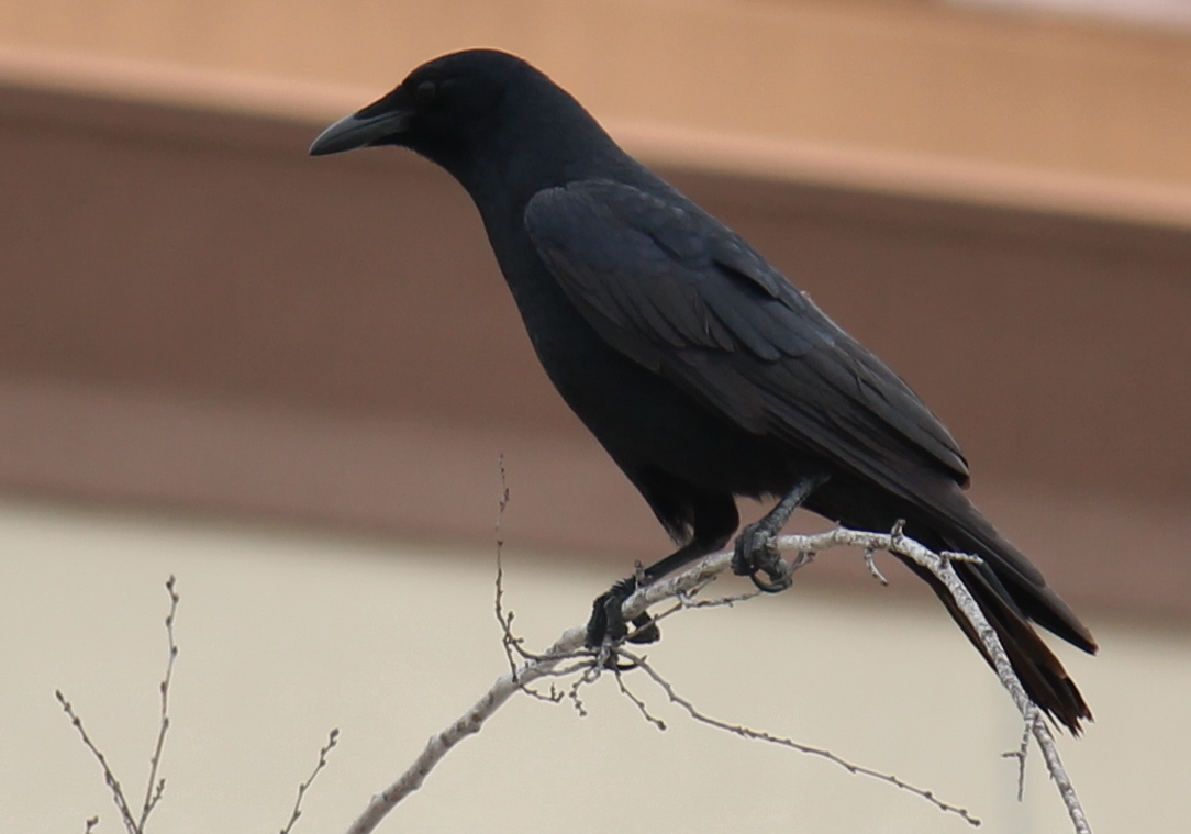 Birding the city crows and cowbirds birdsonashoestring for Fish crow call