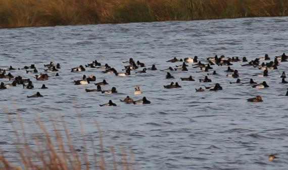 Long-tailed Duck Harris Co. Photo Stephan Lorenz