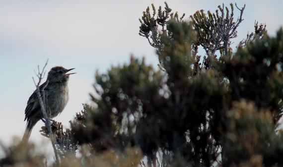 Austral Canastero Tierra del Fuego Photo Stephan Lorenz