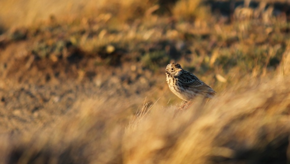 Correndera Pipit Tierra del Fuego Photo Stephan Lorenz