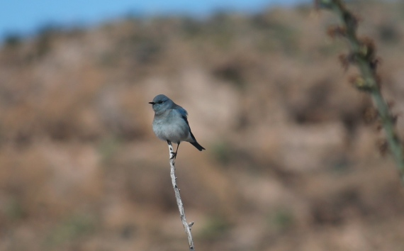 nearly 40 Mountain Bluebirds along the Marufo Vega trail here a male Photo Stephan Lorenz
