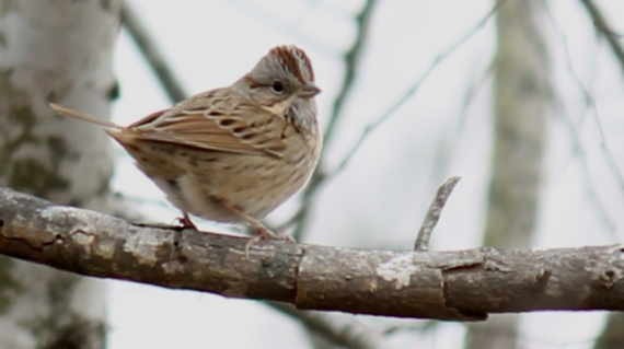 Lincoln's Sparrow maybe next time Photo Stephan Lorenz