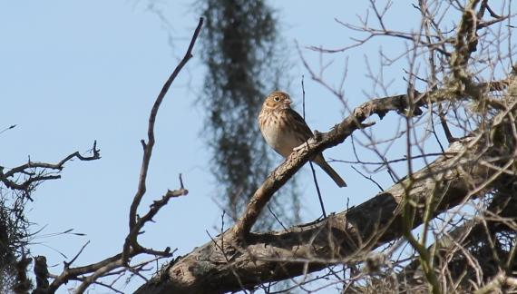 Vesper Sparrow one of 11 sparrow species seen Photo Stephan Lorenz