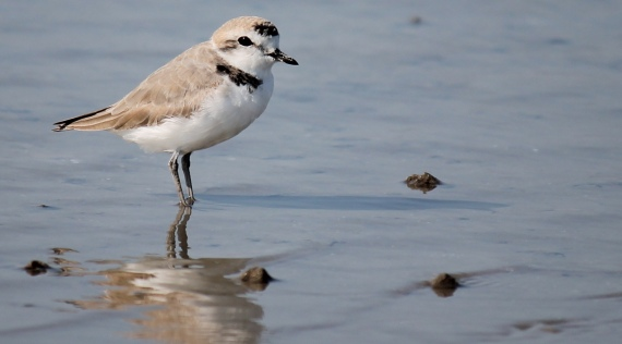 Snowy Plover one of 27 species of shorebirds seen during the workshop Photo Stephan Lorenz