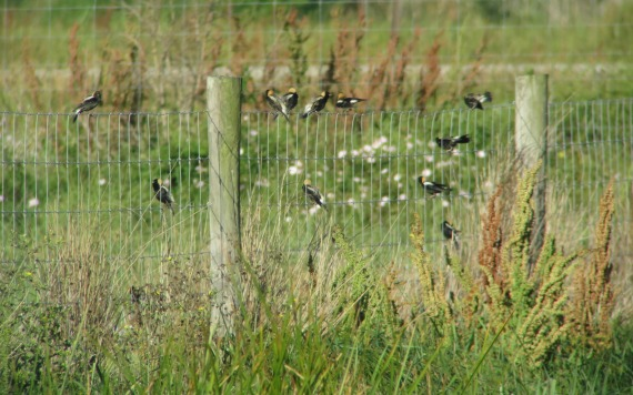 Bobolinks migrating on the Texas coast Photo Stephan Lorenz