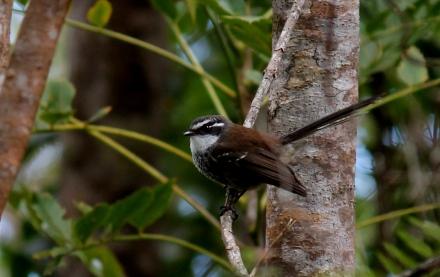 Streaked Fantail a bird of Micronesia Photo Stephan Lorenz