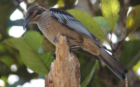 New Caledonian Friarbirds can be abundant in forests Photo Stephan Lorenz