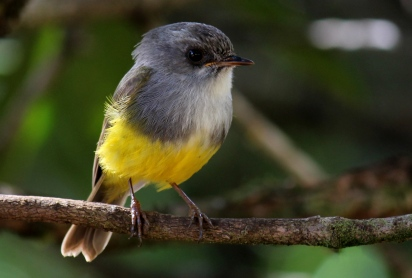 Yellow-bellied Flyrobin a tiny endemic Photo Stephan Lorenz