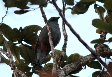 endemic New Caledonian Cuckooshrike Photo Stephan Lorenz