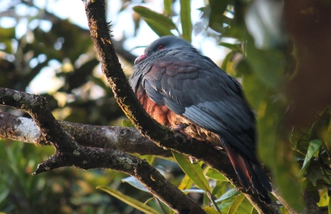 Goliath Imperial Pigeon the largest arboreal pigeon in the world endemic to New Caledonia Photo Stephan Lorenz