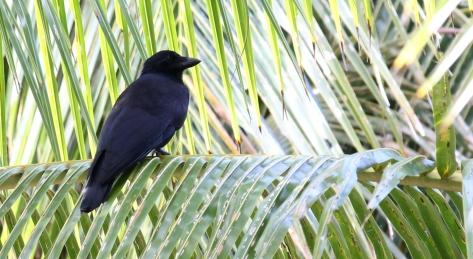the tool using New Caledonian Crow Photo Stephan Lorenz