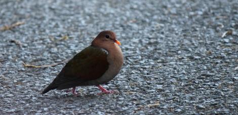 uncommon and easily overlooked Emerald Dove Photo Stephan Lorenz
