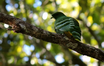 one of the most beautiful endemics the Cloven-feathered Fruit Dove Photo Stephan Lorenz