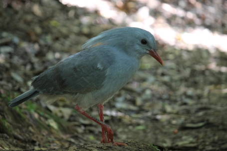 Kagu is New Caledonia's most famous endemic belonging to a monotypic family Photo Stephan Lorenz
