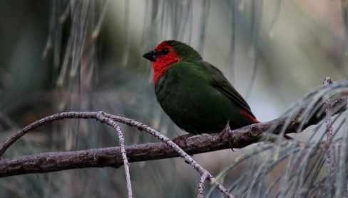 the endemic Red-throated Parrotfinch Photo Stephan Lorenz