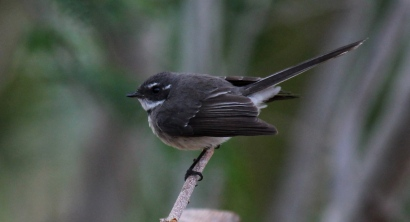 Grey Fantails are common throughout Photo Stephan Lorenz