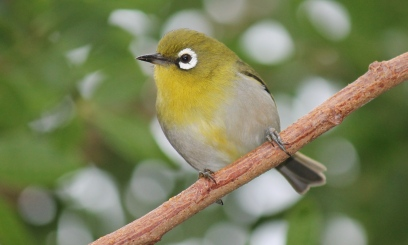 the most common endemic Green-backed White-eye Photo Stephan Lorenz