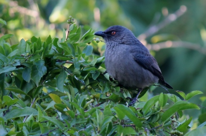 Striated Starling are a fairly common endemic species Photo Stephan Lorenz