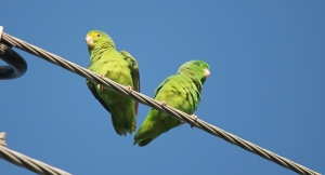 Green-rumped Parrotlets Photo Stephan Lorenz