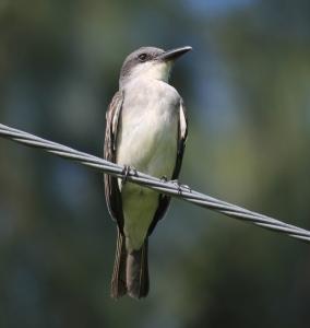 Gray Kingbird Photo Stephan Lorenz