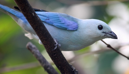 Blue-gray Tanager Photo Stephan Lorenz