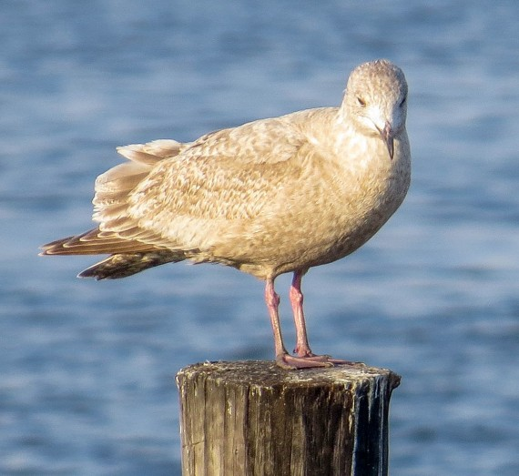 Thayer's Gull Photographed by participant Teresa Connell
