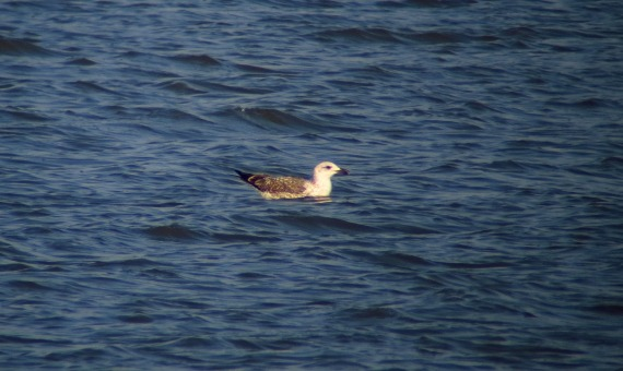 1st cycle Lesser Black-backed Gull seen well by all participants Photo Stephan Lorenz