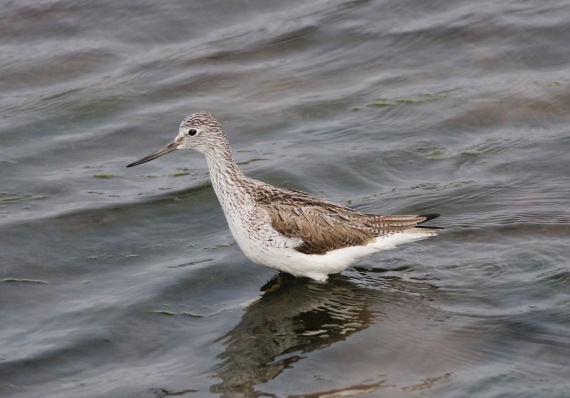 Common Greenshank St. Paul Island