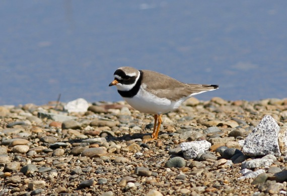 Common Ringed Plover on Gambell