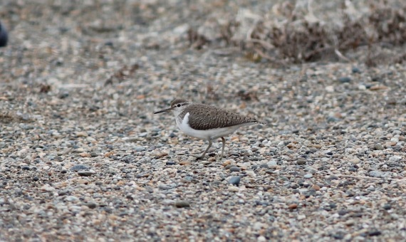 Common Sandpiper on Gambell