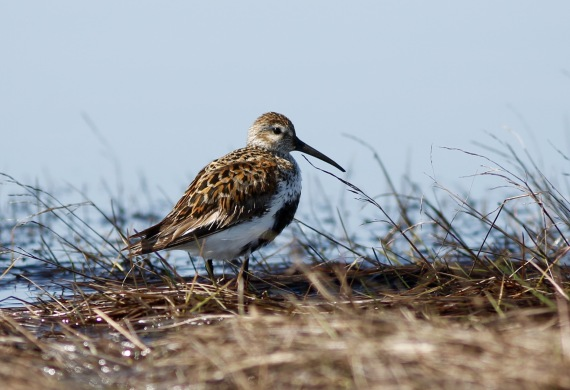 Dunlin breeding on Gambell