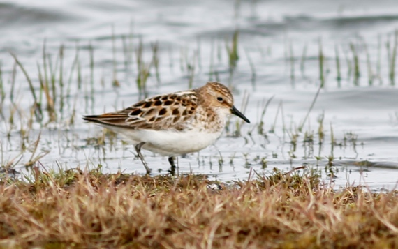 Little Stint Gambell(2)