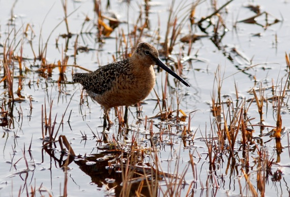 Long-billed Dowitcher Barrow