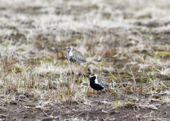 Pacific Golden Plover Adak