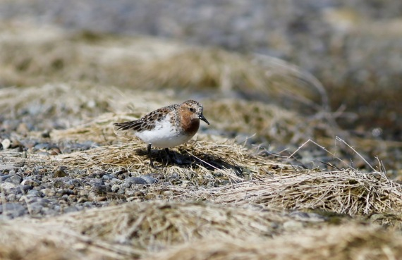 Red-necked Stint Gambell