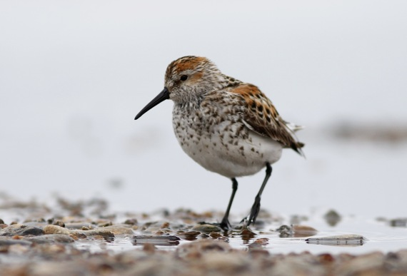 Western Sandpiper breeding on Gambell