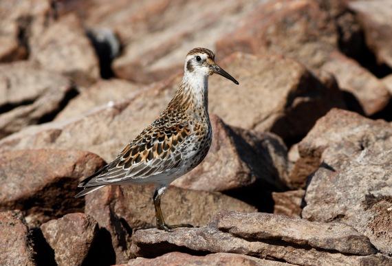 Shorebirds - 15 of 50