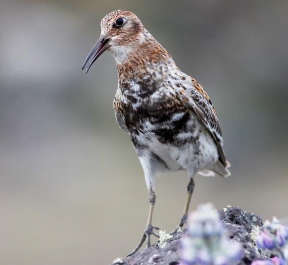 Shorebirds - 19 of 50