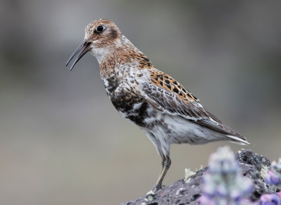 Shorebirds - 20 of 50