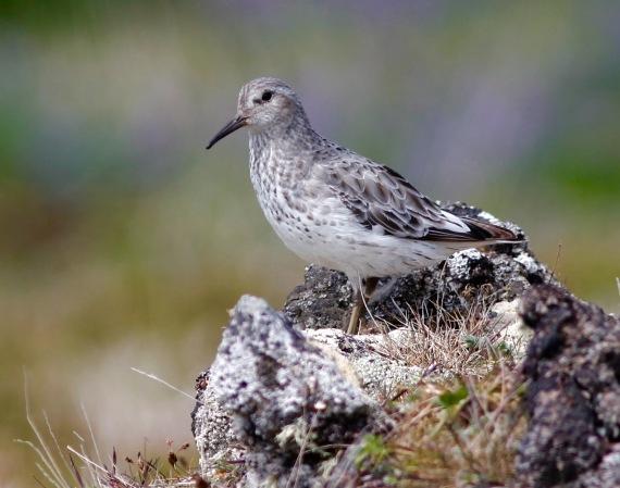 Shorebirds - 21 of 50