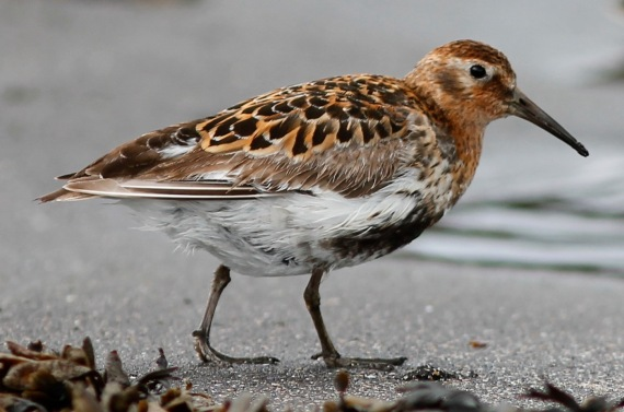 Shorebirds - 22 of 50