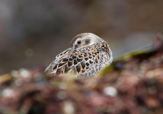 Shorebirds - 23 of 50