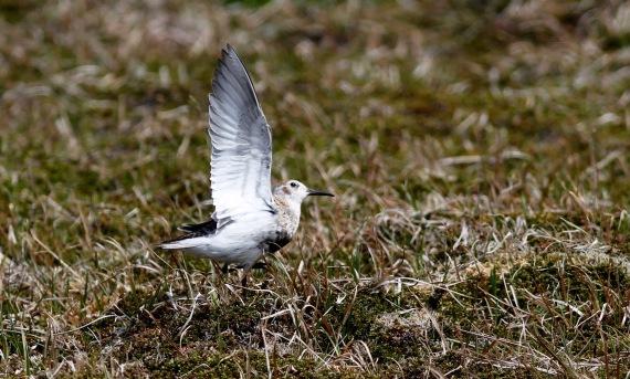 Shorebirds - 24 of 50