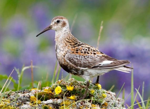 Shorebirds - 31 of 50