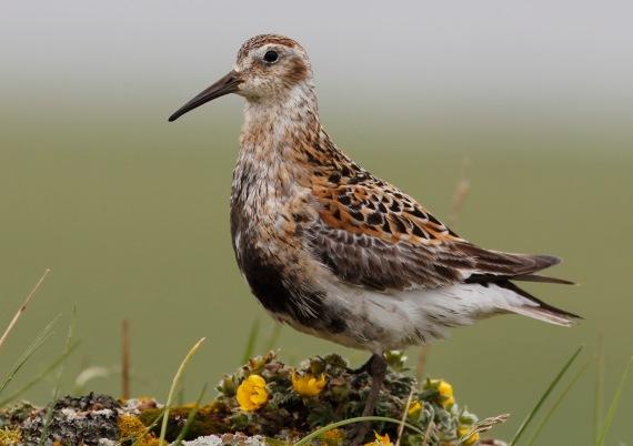 Shorebirds - 32 of 50
