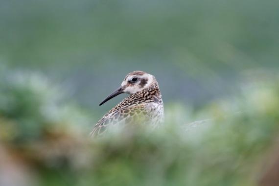Shorebirds - 33 of 50