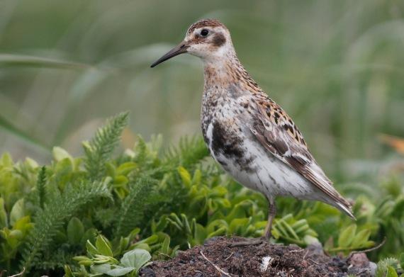 Shorebirds - 34 of 50