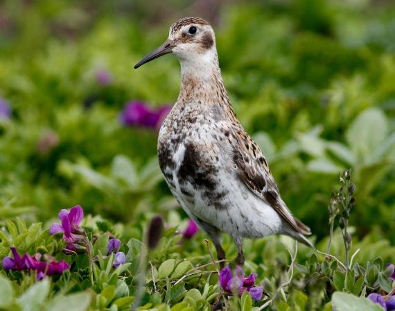 Shorebirds - 35 of 50