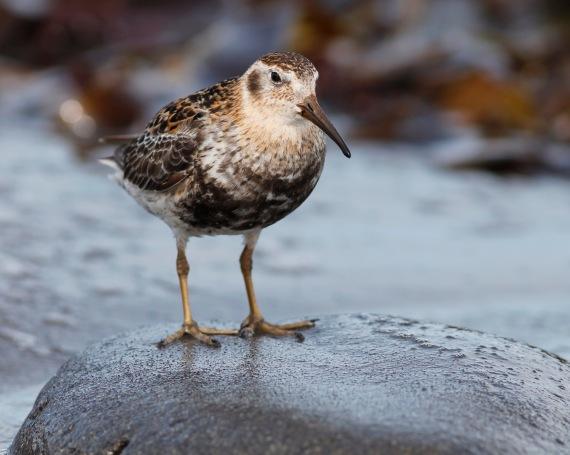 Shorebirds - 36 of 50